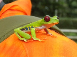 Colorful red-eyed frog